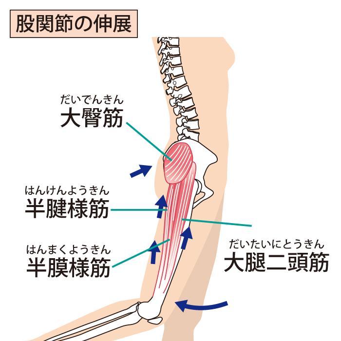 股関節の伸展の仕組み
