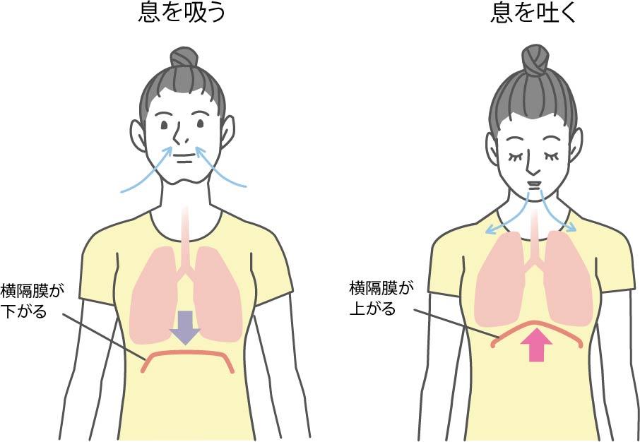 呼吸時の横隔膜の動き