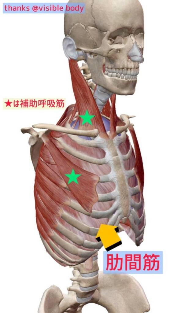 肋間筋の位置